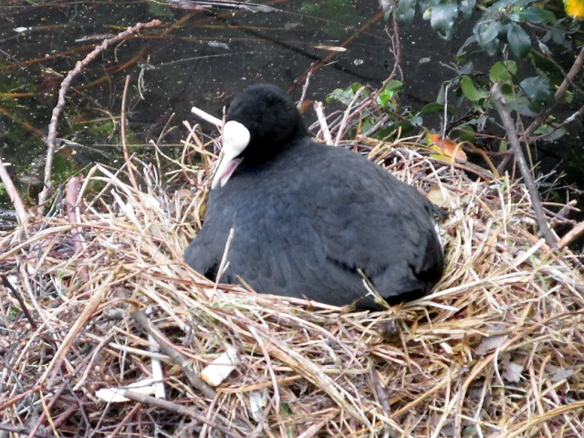Coot sitting on her eggs