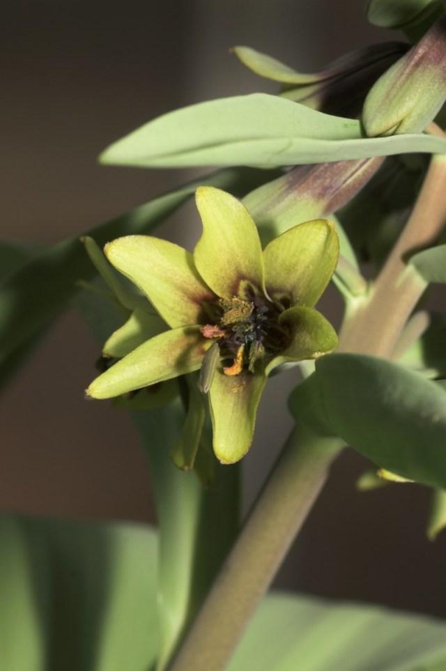 Fritillaria sewerzowii Green_15-2 [1024x768]