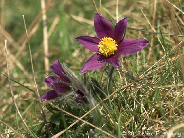 PasqueFlower2