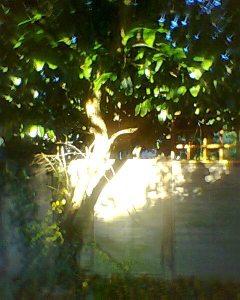 Apple tree and sunshine