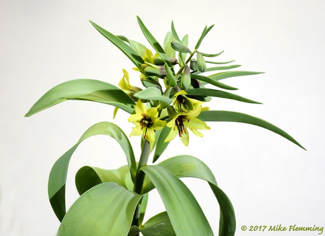 Fritillaria-sewerzowii-Green