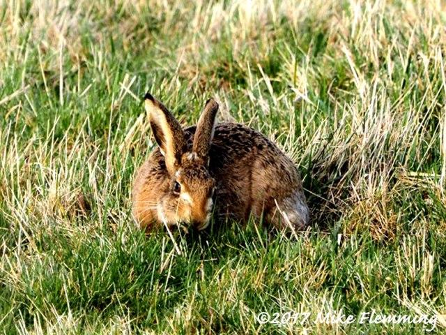 Hare_Otmoor2017