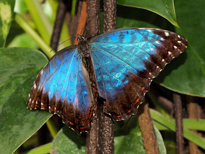 wisley_commonmorpho