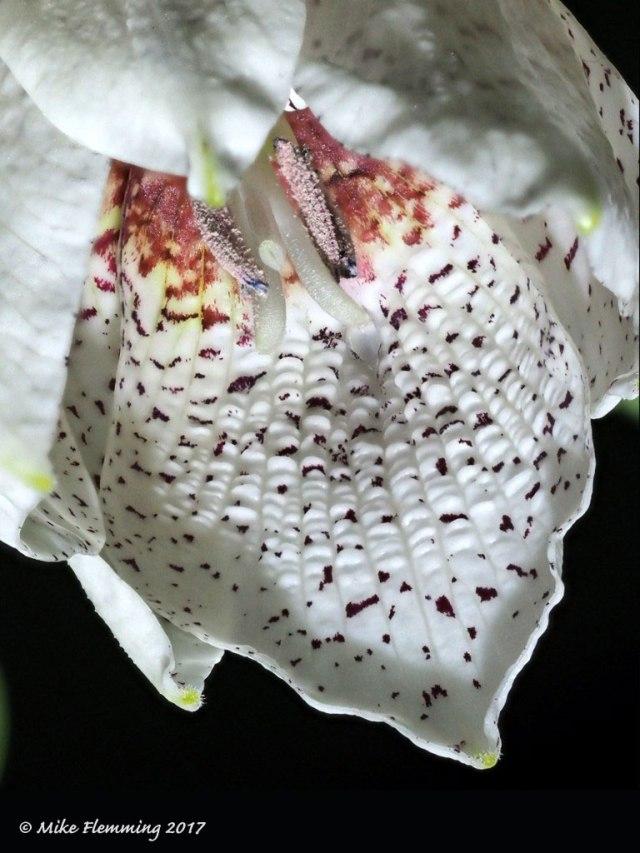 Fritillaria-tortifolia2017-2