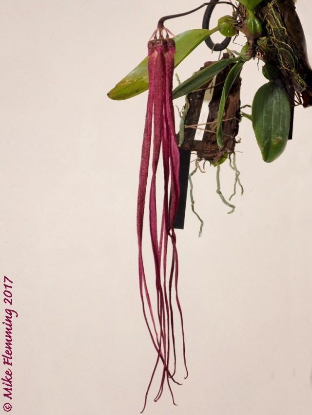 thumbnail_Bulbophyllum jacobsonii_17-3 1024x768