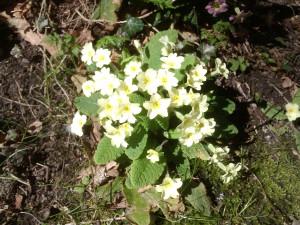 primroses-fairhaven
