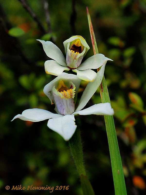 NZ_Orchid2016
