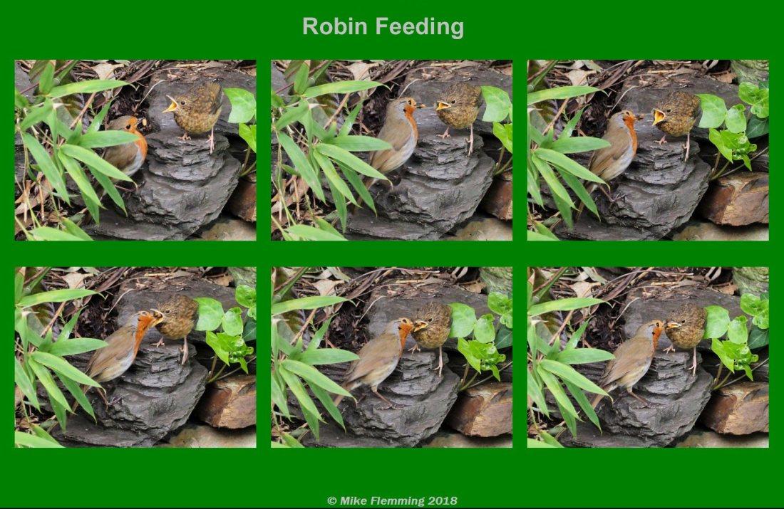 RobinFeeding