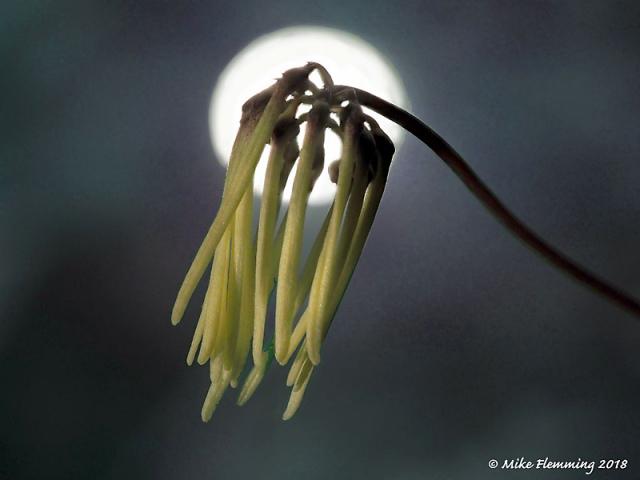 Bulbophyllum_makoyanum_1