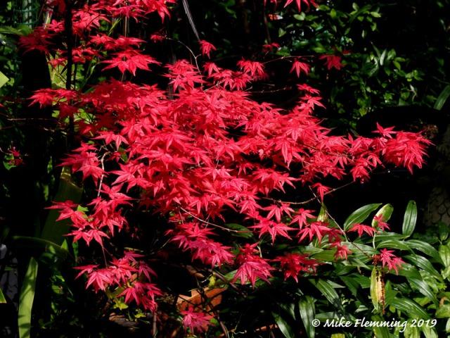acer-palmatum-shindeshojo-1
