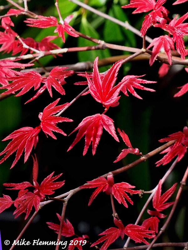 acer-palmatum-shindeshojo