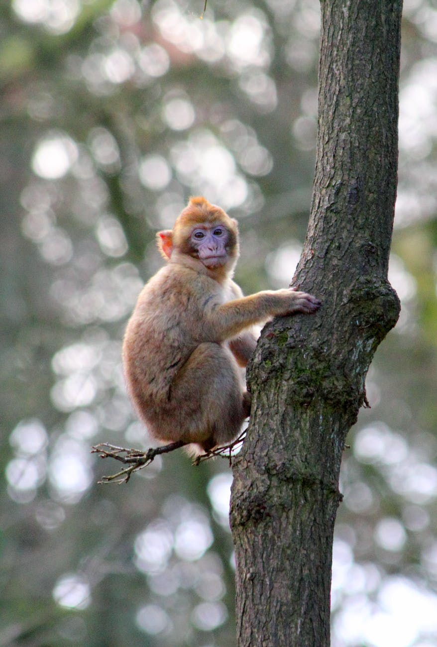 animal ape baby monkey barbary macaque