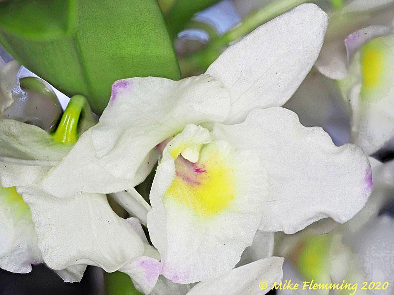 Dendrobium_2020-1.jpg