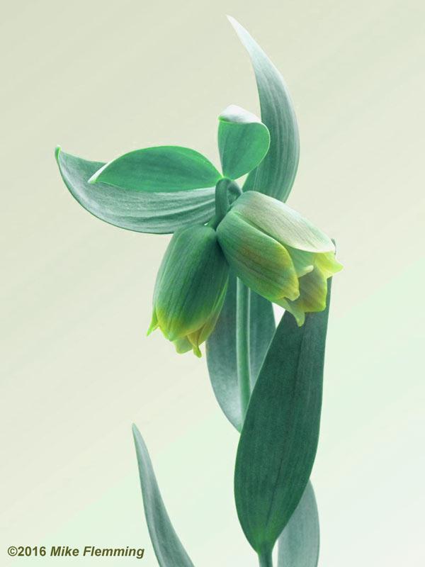 fritillaria_pontica2016-1