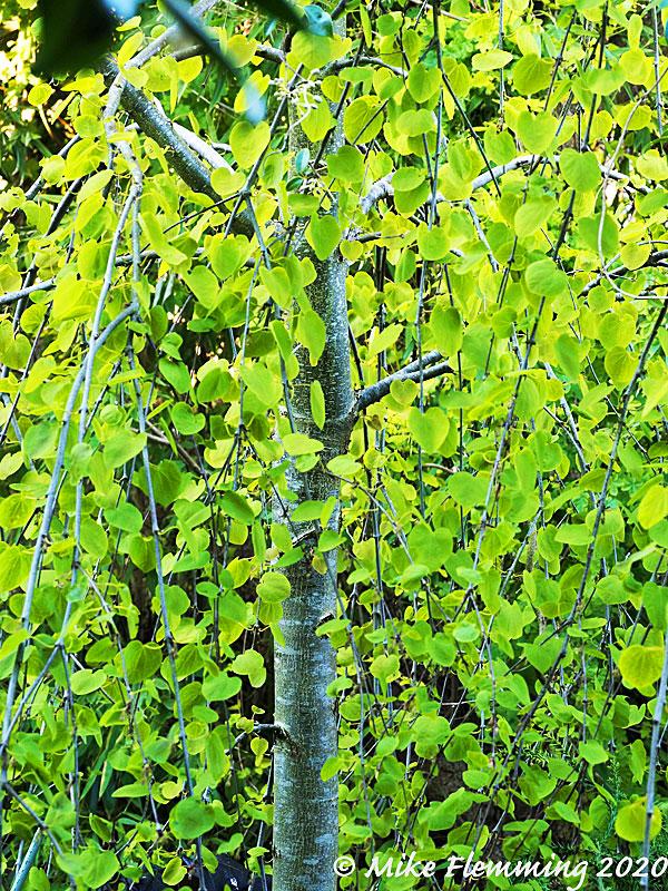 Cercidiphyllum-japonicum_2020