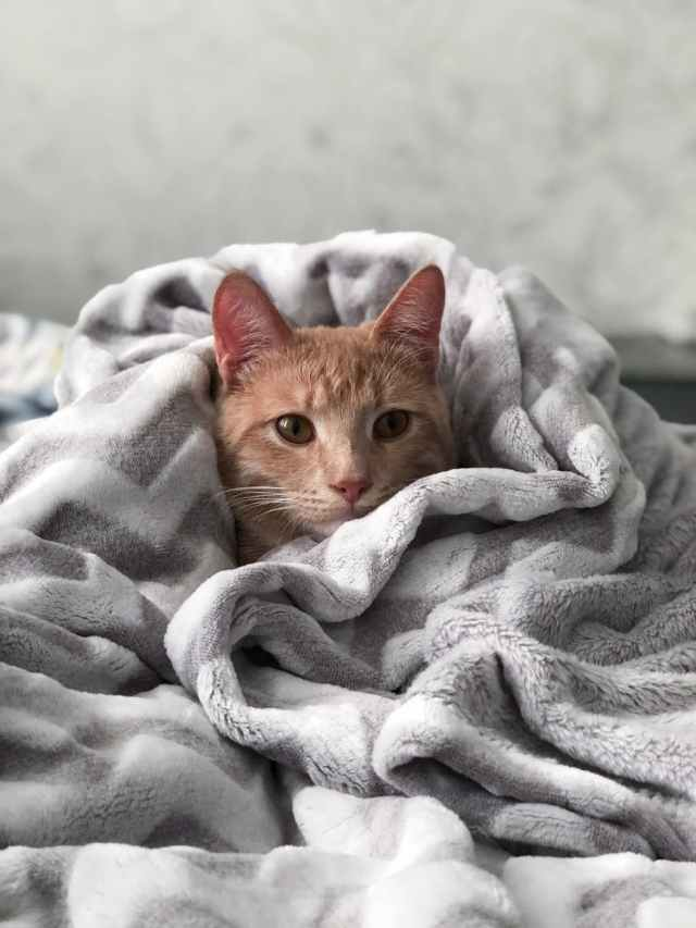 orange tabby cat on gray blanket