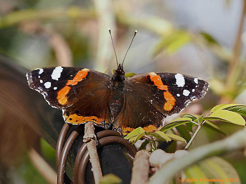 Red-Admiral-2020-1