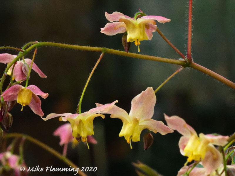 Epimedium-versicolor