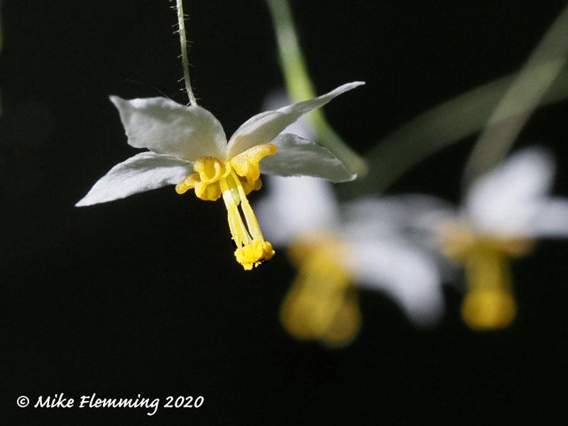 Epimedium-Woodang-Star