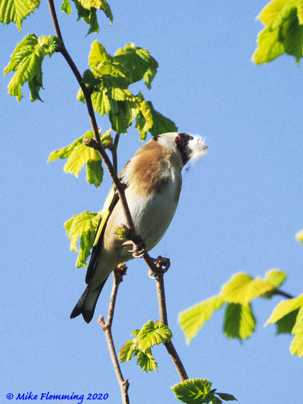 Goldfinch-1