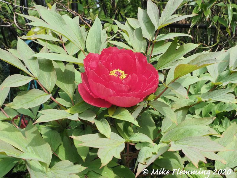 Paeonia-suffruticosa