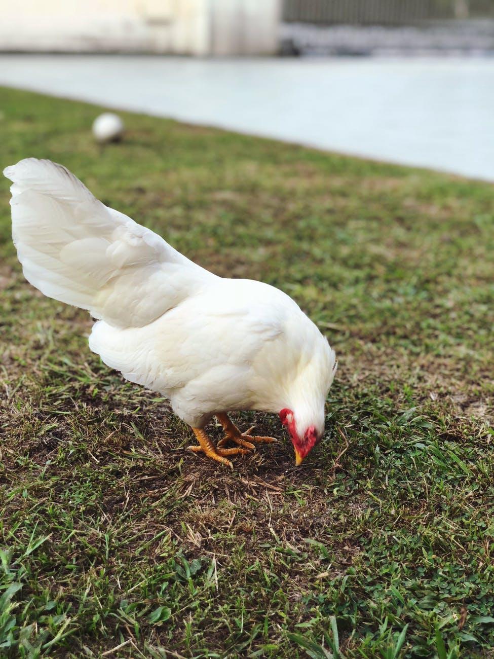 photo of chicken on grass