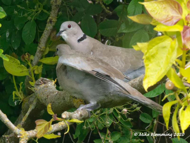 Collared-Doves-2020-1