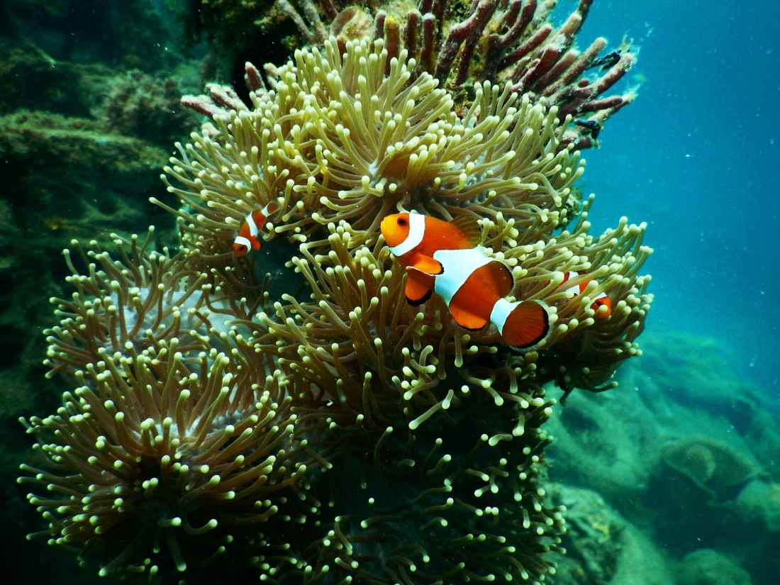 clownfish under water